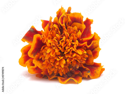 Foto op Canvas Madeliefjes Marigold on a white background