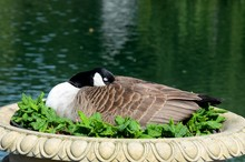 London, England - June 17, 2014: A Female Mallard Duck At London's Kew Gardens Rests In A Planter. It Is Believed The Duck Is Keeping Her Eggs Warm In The Planter.
