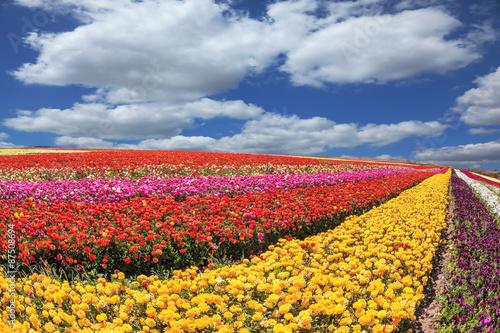 In de dag Ballon Sunny south of garden buttercups /ranunculus/