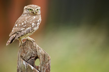 Little Owl On An Old Post