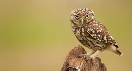 Little owl on an old post looking at the camera