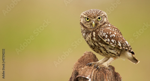 Spoed Fotobehang Uil Little owl on an old post looking at the camera