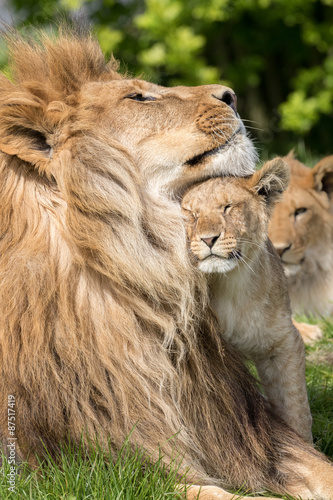 Staande foto Leeuw Father and Daughter, Lion and lioness cub together