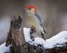Red Headed Woodpecker Perching On Wood Covered In Snow.