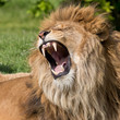 Male lion having a yawn