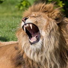 Fototapeta Lew Male lion having a yawn