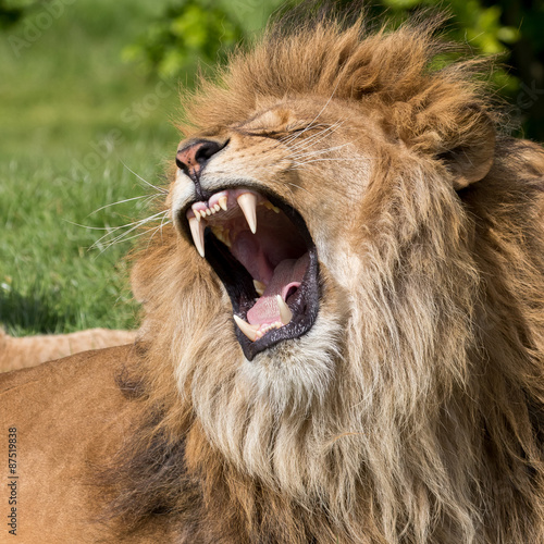 Tuinposter Leeuw Male lion having a yawn