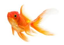 Goldfish Isolated Over White B...