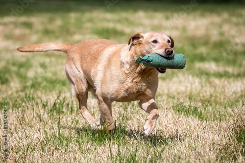 Vászonkép Labrador Retriever with a Training Dummy