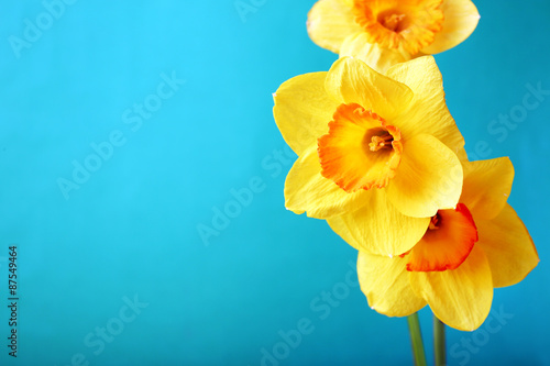 Fresh narcissus flowers on color background