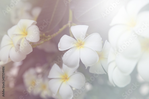 Wall Murals Plumeria beautiful Flower with soft focus color filtered background