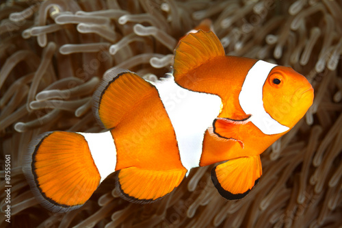 Fotografie, Obraz  Klaun Anemonefish