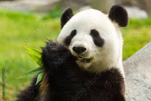 Recess Fitting Panda Panda bear eating bamboo