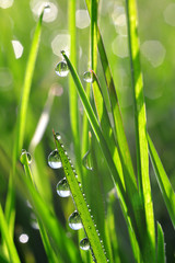 Obraz na SzkleFresh green grass with dew drops closeup. Nature Background