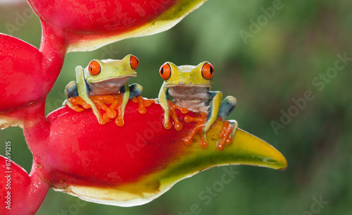 Poster Kikker Two red-eyed tree frogs sitting on a heliconia flower