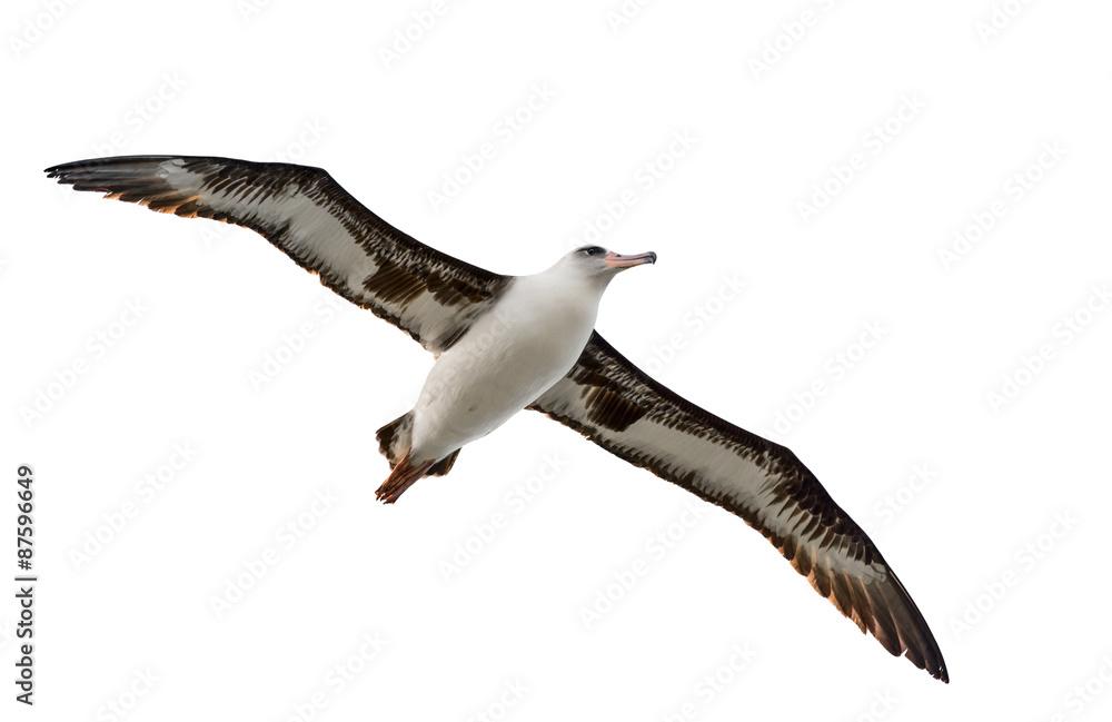 Fényképezés flying albatross isolated on white background