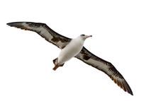 Flying Albatross Isolated On W...