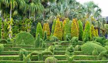 Ebony Bonsai Tree
