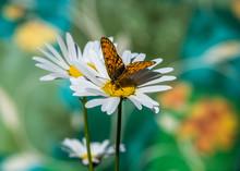 Orange Butterfly On A Daisy.