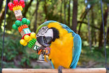 Blue And Gold Macaw Playing With A Toy