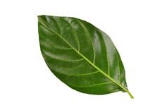 Green Noni Leaf On White Backg...