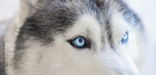 Staande foto Ijsbeer Close up on blue eyes of siberian dog