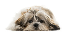 Shih Tzu Lying In Front Of A W...