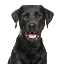Close-up Of A Labrador In Fron...