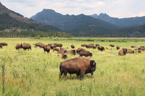 Fotobehang Natuur Park USA / Yellowstone National Park - Bisons sauvages