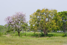 Two Pink And Yellow Trees On A...