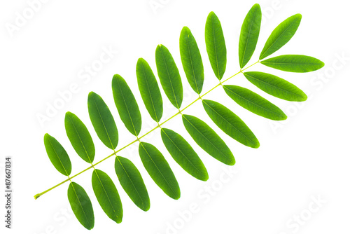 Carta da parati  Cassia siamea leaf isolated on white background