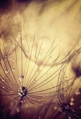fototapeta kwiaty mniszka lekarskiego beżowe tło