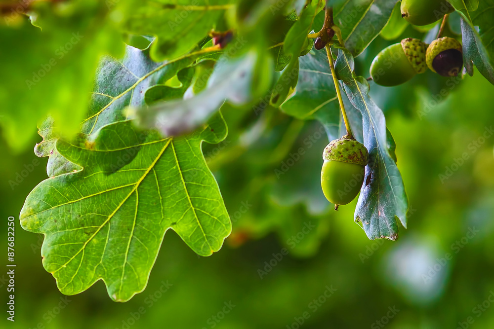 Fotografie, Obraz Green acorn hanging from a tree oak leaf background nature summe