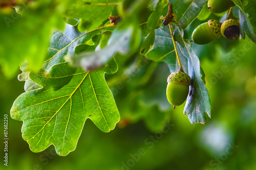 Green acorn hanging from a tree oak leaf background nature summe Fototapet