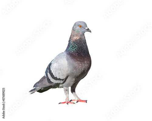 pigeon birds isolated on white background Fototapete