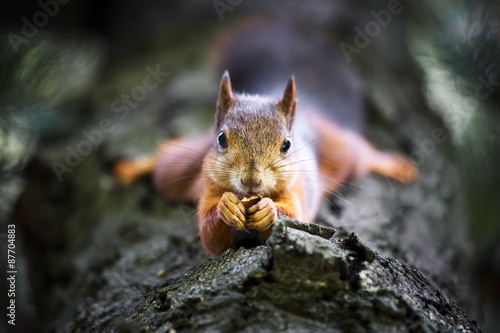 Stickers pour porte Squirrel Squirrel on tree eating nut