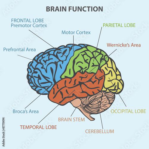 Diagram brain function basic guide wiring diagram brain function diagram buy this stock illustration and explore rh stock adobe com brain diagram function ccuart Gallery