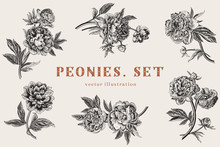 Vintage Vector Illustration. Peonies. Set.