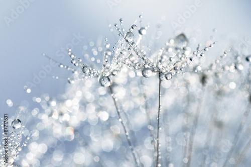 Fototapety, obrazy: Dewy dandelion