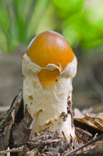 Young Fruit Body Of Caesar's Mushroom (Amanita Caesarea)