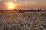 Pole zboża podczas zachodu słońca na polskiej wsi