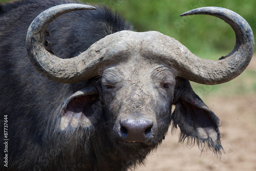 Staande foto Buffel Large water buffalo