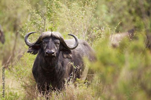 Staande foto Buffel Water buffalo in the bush looking at the camera