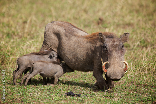 Young warthogs feeding on their mother Canvas Print