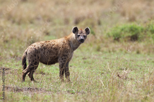Poster Hyena Spotted Hyena
