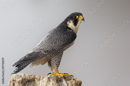 Adult Peregrine Falcon perched on a rock Canvas Print