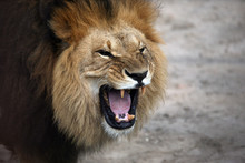 Portrait Of A Snarling African...