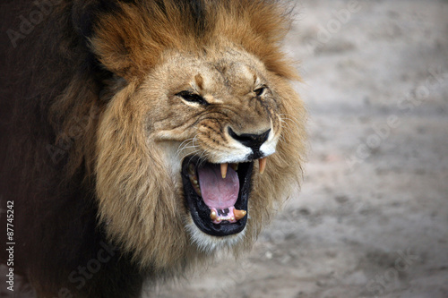 Fotobehang Leeuw portrait of a snarling african lion