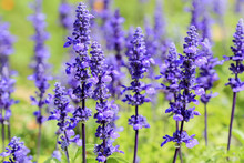 Blue Salvia (salvia Farinacea) Flowers Blooming In The Garden And Field
