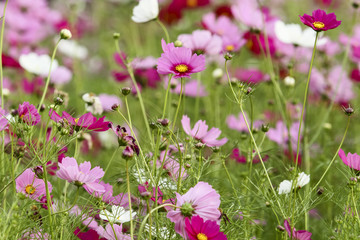 Naklejkathe cosmos flower in the garden for background